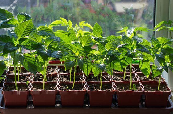 Выращивание рассады перца на подоконнике