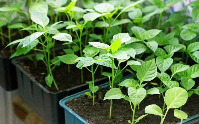 Как лучше вырастить рассаду перца