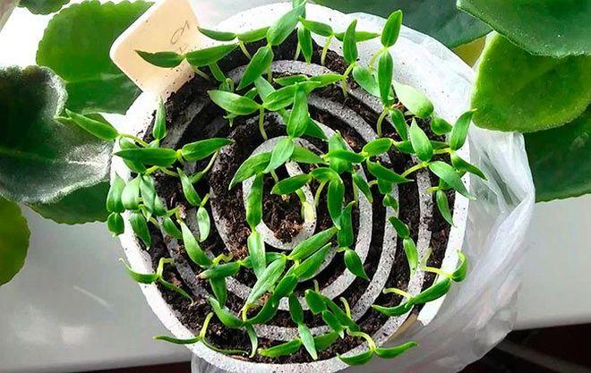 Как посадить рассаду в улитку