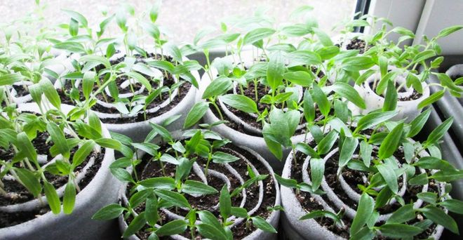 Как высаживают рассаду в улитку