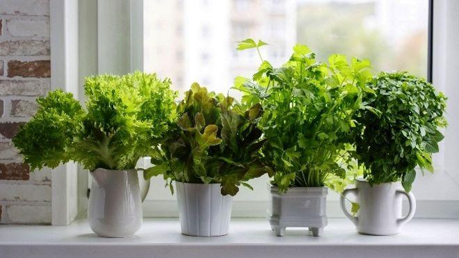 Выращивание зелени дома на окне