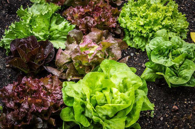 Как растить салат латук