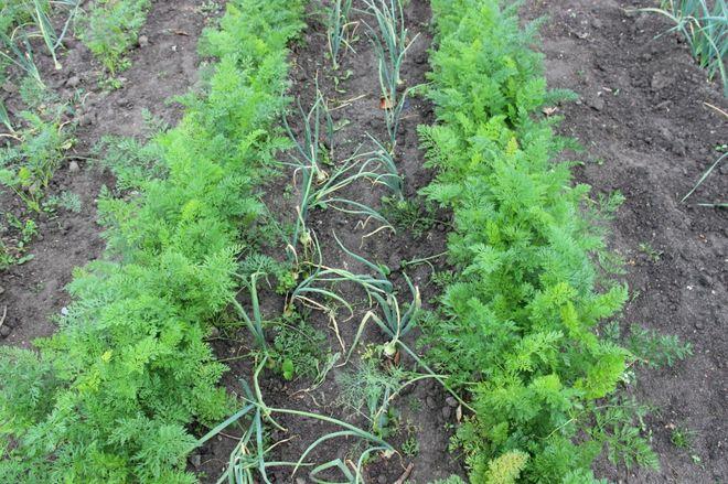 Ряды морковки