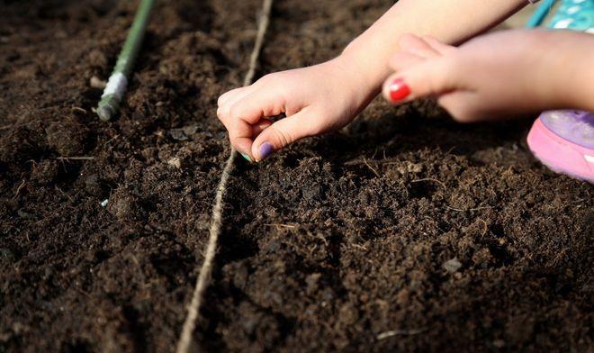Посев картофеля безрассадным способом
