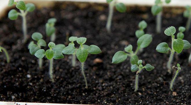 Проросшие семена картофеля