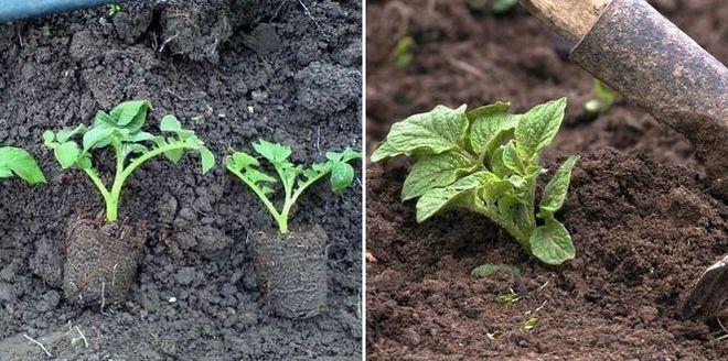 Пересадка рассады картофеля