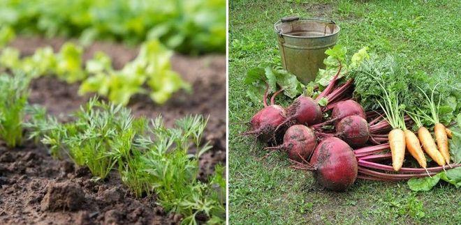 Посадка моркови и свеклы
