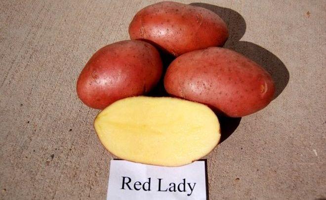 "Картофель ""Ред Леди"""