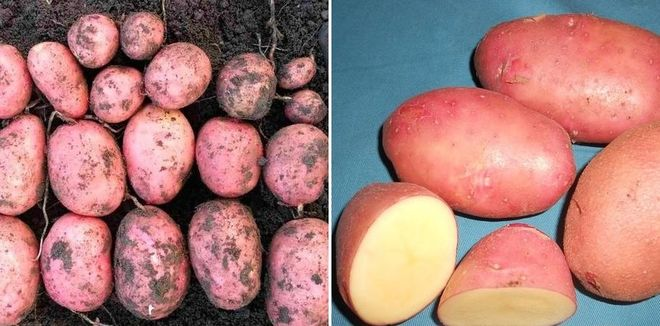 "Картофель ""Спиридон"""