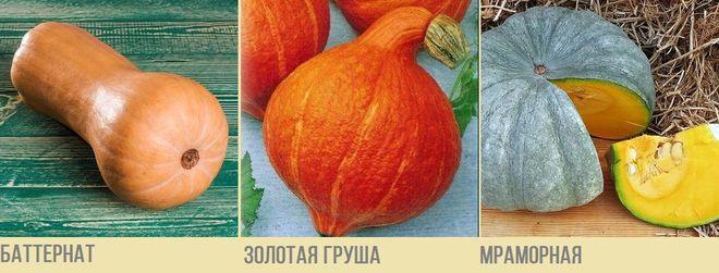 Мускатные сорта тыквы
