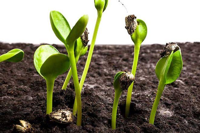Семена прорастают