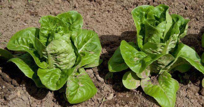 Листовой салат Ромэн
