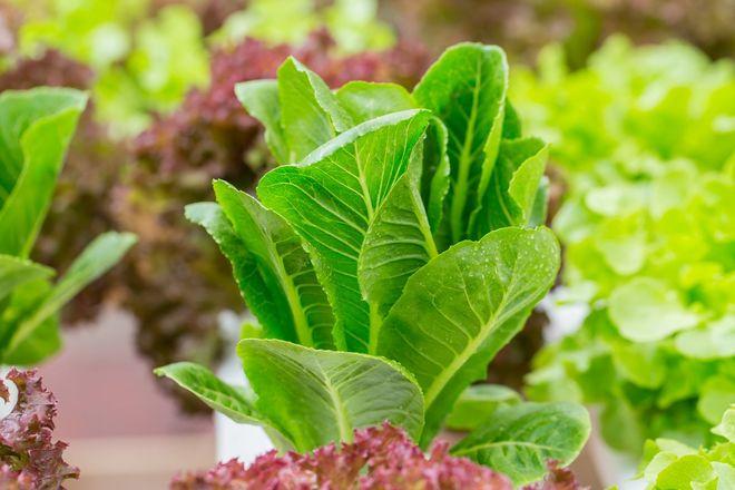 Листовой салат Уйсун