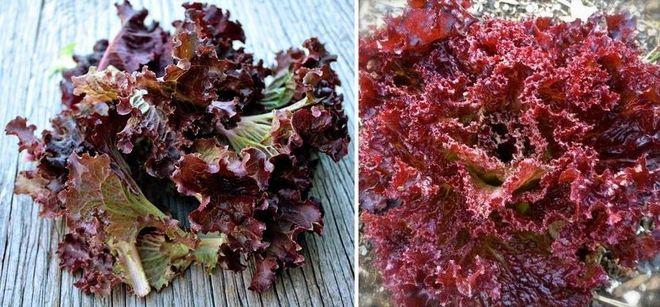Листовой салат Лоло Росса