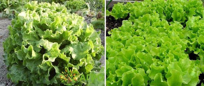 Листовой салат Гасконь