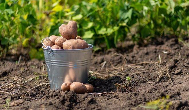 Урожай картофеля в ведре
