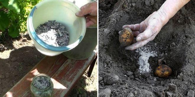 Подкормка картофеля золой