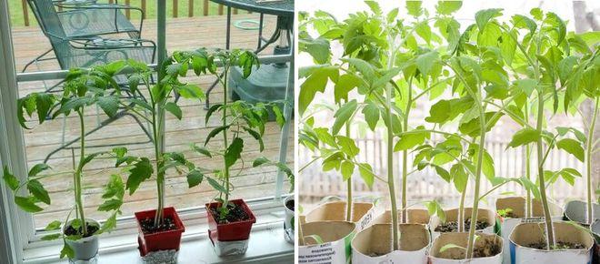 Переросшая рассада томатов