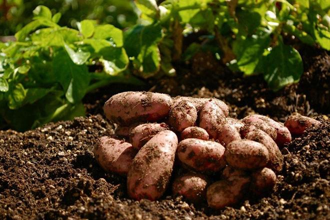 5 правил выращивания картофеля