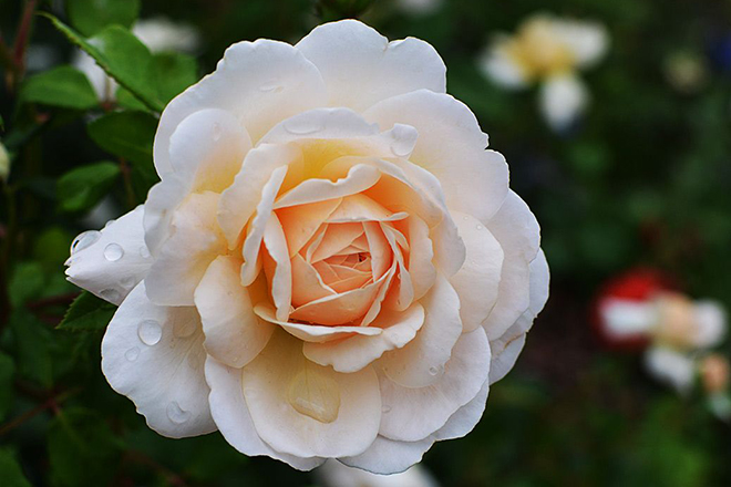 """Роза """"Крокус Роуз"""""""