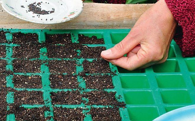 Посев кольраби на рассаду