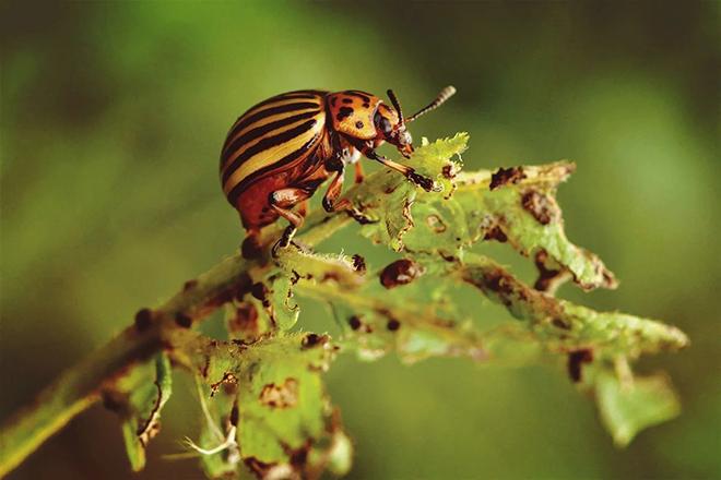 Избавляемся от колорадского жука