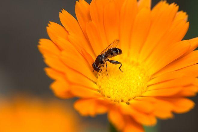 Пчела на календуле