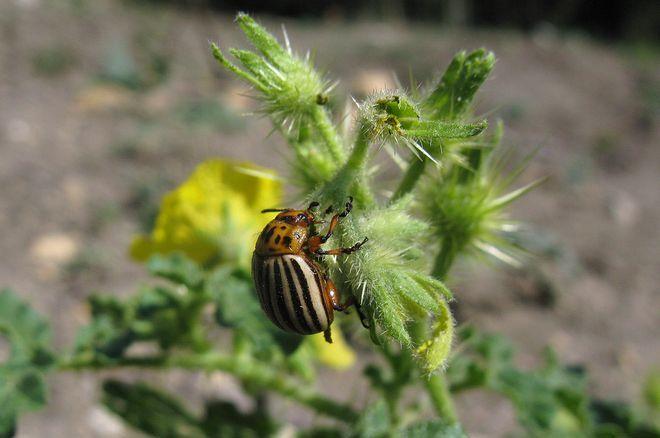 Взрослая особь колорадского жука