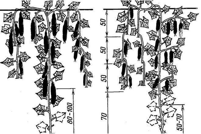 Схема пришипывания огурцов