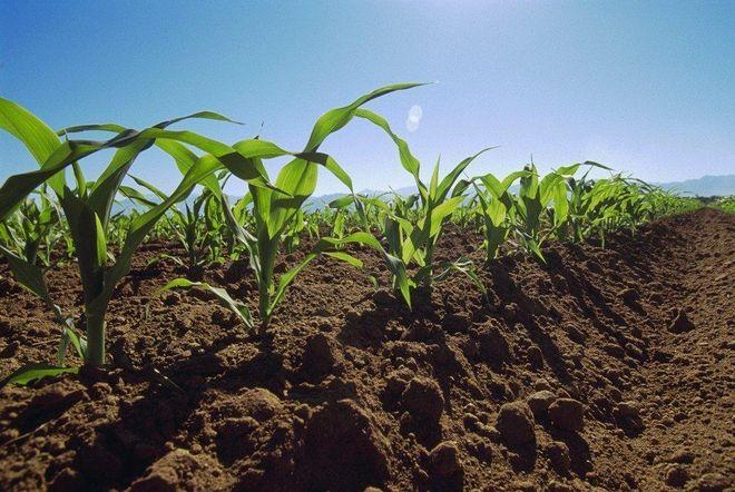 Окучивание кукурузы