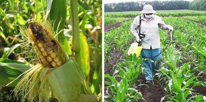 Обработка куурузы от болезней и вредителей