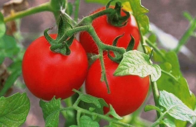 Созревающие помидоры