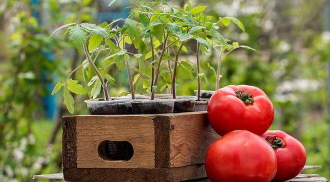 Рассада томатов в ящике