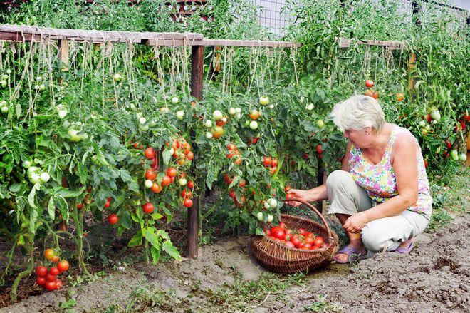 Сбор помидоров с участка