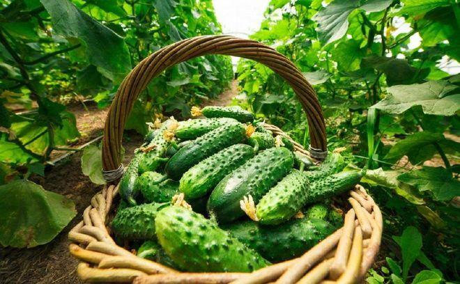 рожай огурцов в корзине