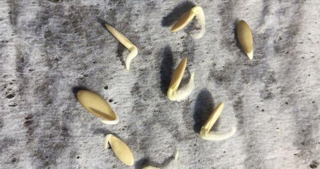 Семена прорасли