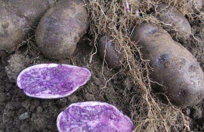 Картофель Сал блю