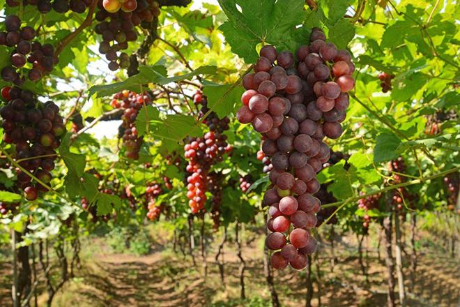 ТОП-7 лучших столовых сортов винограда