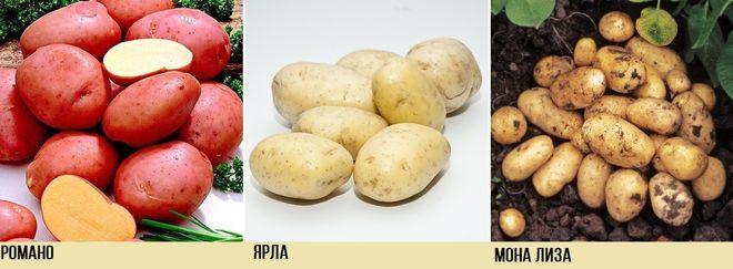 Сорта картофеля походящие для голландского метода