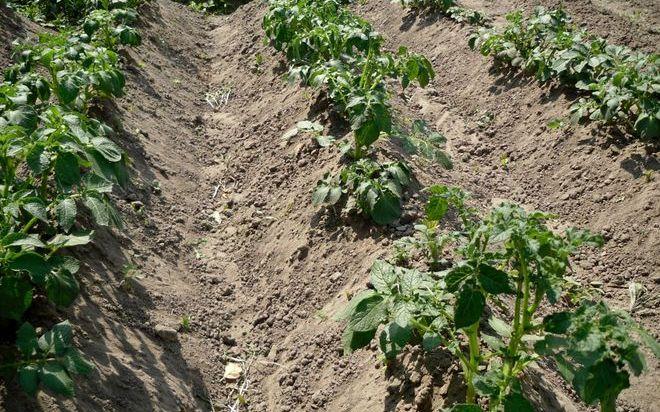 Картофель в гребнях