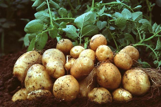 Картошка по-голландски