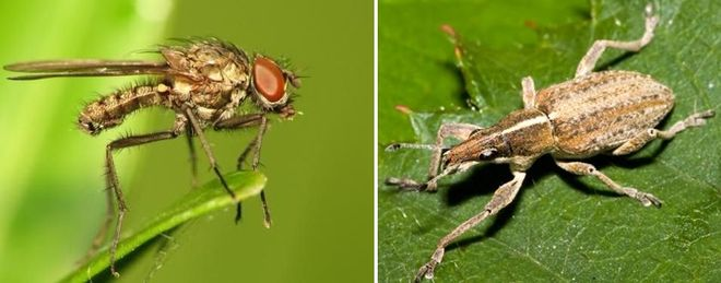 Ростковая муха и клубеньковый долгоносик