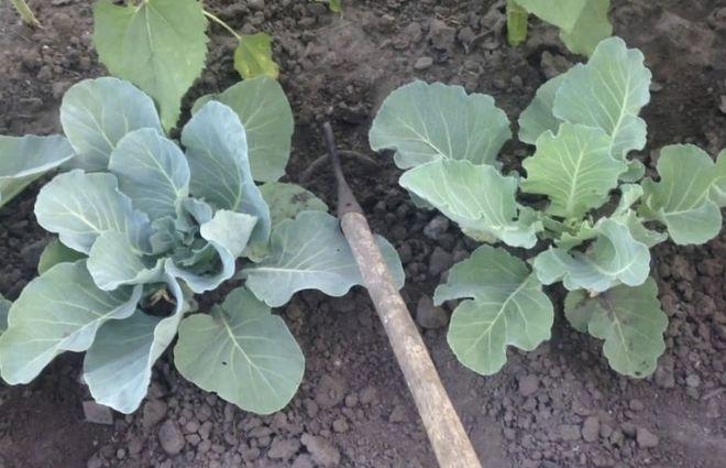 Окучивание цветной капусты