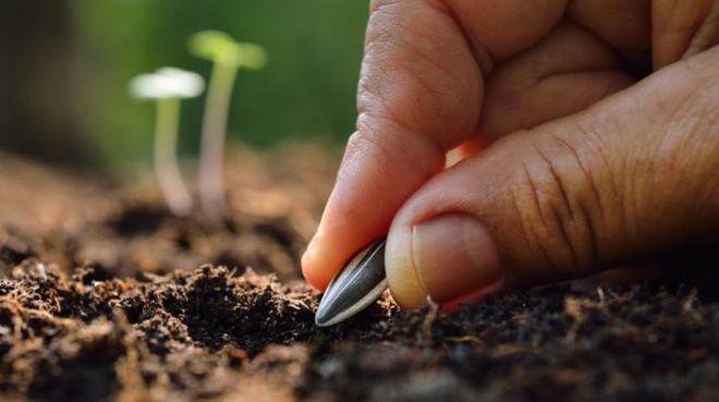 Посев семян подсолнечника