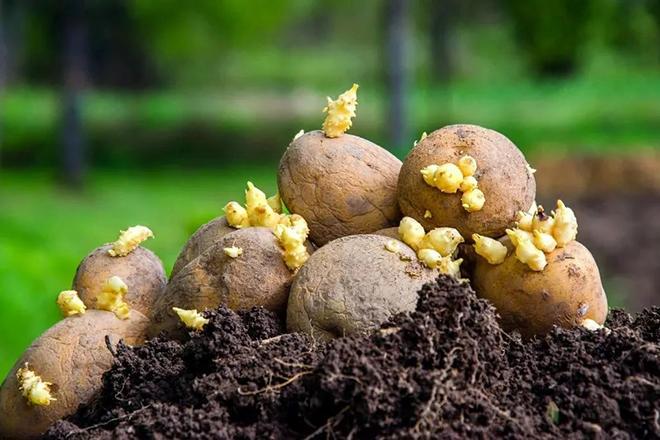 5 лучших сортов картофеля для посадки в июне