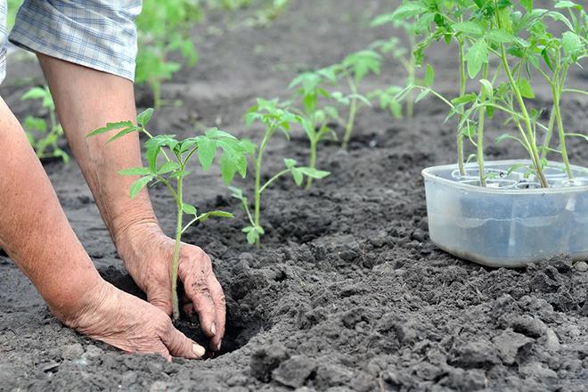 Посадка помидоров в открытый грунт