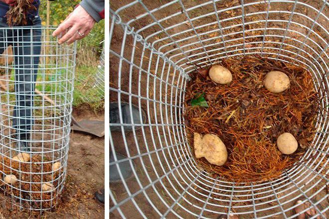 Защита картофеля от медведки