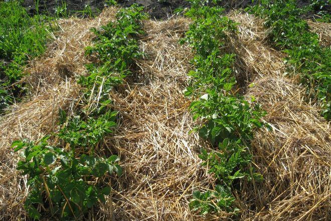 Картофель под сеном