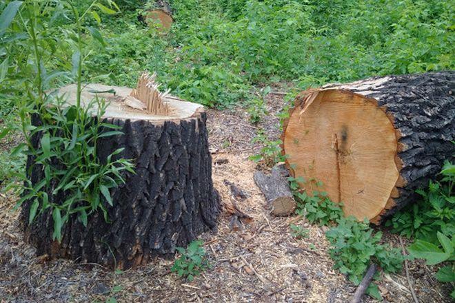 Спиленное дерево