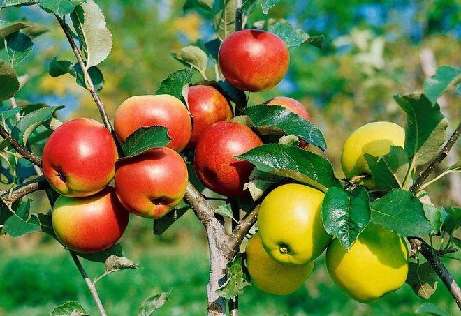 Молодая привитая яблоня
